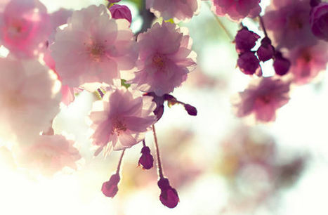 Cerisiers en fleurs - Carte postale du Japon | Japon Quezako | Scoop.it