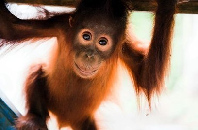 White Wolf: A Mini-Eden for Endangered Orangutans | Biology News | Scoop.it