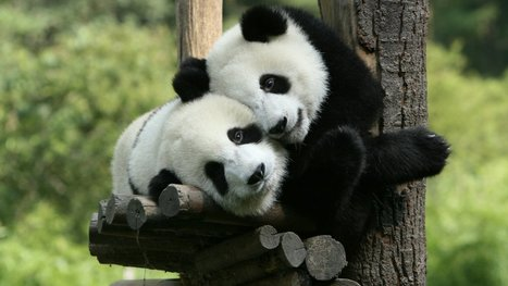Giant pandas are no longer an endangered species | enjoy yourself | Scoop.it