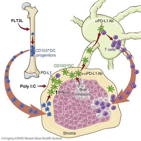 Treating melanoma by inhibiting BRAF & PD-L1, coupled with enhanced dendritic cell activity | Cancer Immunotherapy Review | Scoop.it
