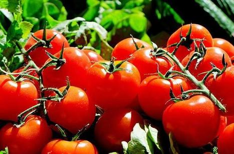 Why do tomatoes smell 'grassy'? | Erba Volant - Applied Plant Science | Scoop.it