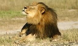 Cecil the lion killer, Walter #Palmer, returns to work #lionkiller   Messenger for mother Earth   Scoop.it