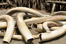 US Ivory Crush Canceled in Wake of Shutdown | Wildlife Trafficking: Who Does it? Allows it? | Scoop.it