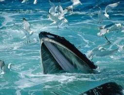 Antarctic freeze paved the way for baleen whales - environment - 18 April 2013 - New Scientist | Wild Life#1 | Scoop.it