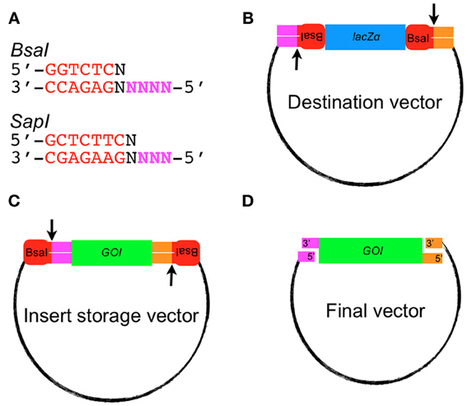 A robust family of Golden Gate Agrobacterium vectors for plant synthetic biology   Science technology   Scoop.it