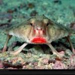 Animales raros: Los  peces murciélago de labios rojos  o  peces murciélago de Galápagos | Cosas que interesan...a cualquier edad. | Scoop.it