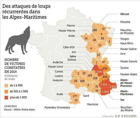 Alpes-Maritimes : la place du loup en question après une nouvelle attaque | Chasse dans le Nord... et ailleurs | Scoop.it