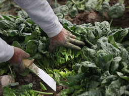 Key To E. Coli-Free Spinach May Be An Ultrasonic Spa Treatment : NPR | Local Food Systems | Scoop.it