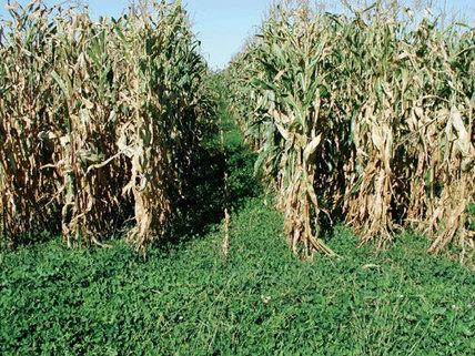 living mulch systems for grain crop production | sous semis dans le mais | Scoop.it