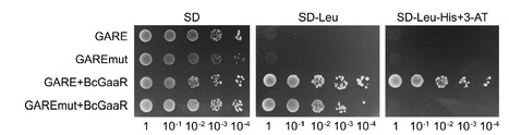 Molecular Microbiology (2016): A novel Zn2Cys6 transcription factor BcGaaR regulates D-galacturonic acid utilization in Botrytis cinerea | WU_Phyto-Publications | Scoop.it