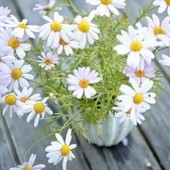 Camomile health and beauty benefits - MyDaily UK | Aromatherapy & Holistic Cosmetology with Mayella | Scoop.it