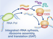 In vitro integration of ribosomal RNA synthesis, ribosome assembly, and translation | SynBioFromLeukipposInstitute | Scoop.it