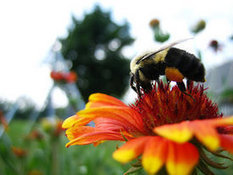 Ignoring Bee Crisis, EPA Greenlights New 'Highly Toxic' Pesticide | Sustain Our Earth | Scoop.it