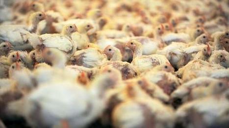 Studien zu Nutztieren: Auch Bio-Fleisch oft von gequälten Tieren - Wirtschaft - Tagesspiegel Mobil | Agrarforschung | Scoop.it