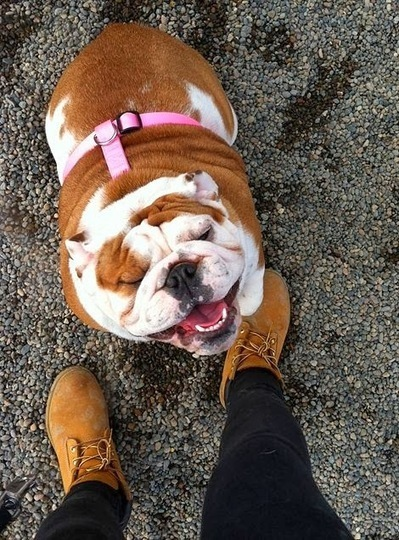 Funny Pictures Of Dog: Smushy - Smiley With English Bulldog | Funny Animal Pictures | Scoop.it