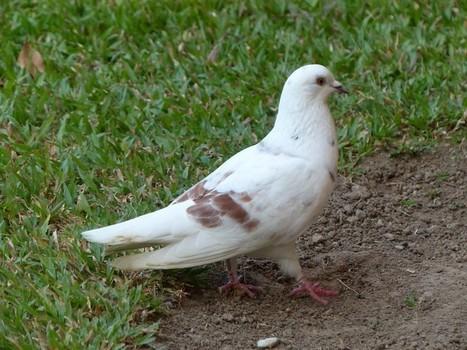 Photo de Columbidé : Pigeon biset - Pigeon des villes - Pigeon commun - Columba livia - Rock Dove   Fauna Free Pics - Public Domain - Photos gratuites d'animaux   Scoop.it