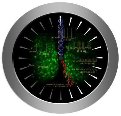 How does body temperature reset the biological clock? | Scientificus | Scoop.it