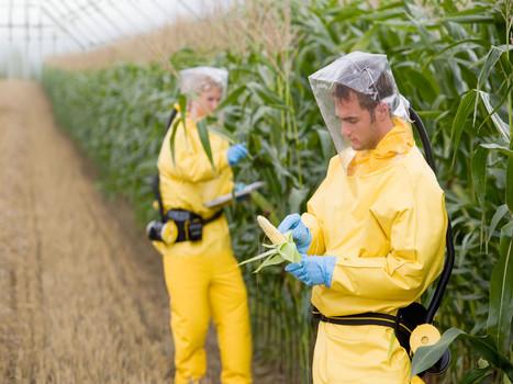 OGM : l'Efsa refuse de conclure sur l'innocuité sanitaire d'un maïs ... - Actu-environnement.com | Abeilles, intoxications et informations | Scoop.it