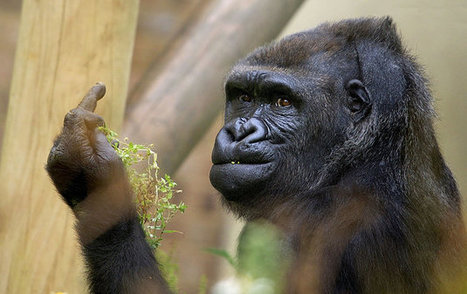 This Gorilla Is Really Tired Of Living In A Zoo And Having His Photo Taken   Animal Empathy & Natural Pet Care   Scoop.it