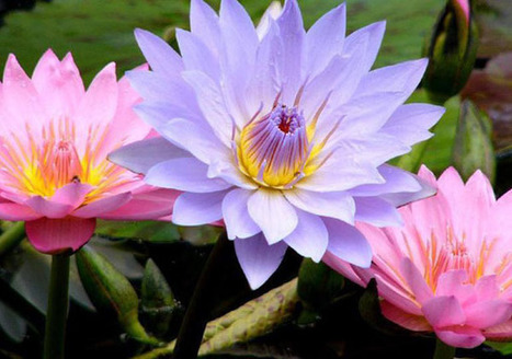 How to grow bigger better and more beautiful water lilies   Pond Talk   Scoop.it