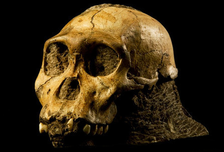 Pre-human chowed down like a chimp | Aux origines | Scoop.it