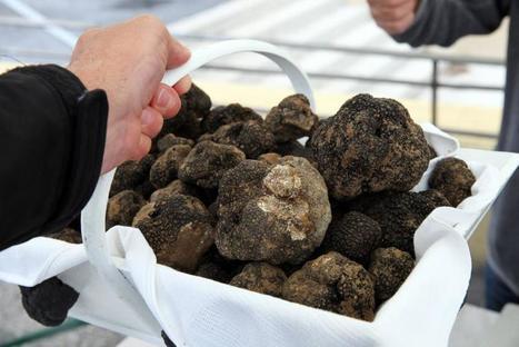 La saison de la truffe d'été est ouverte! | Truffes L&Co | Scoop.it