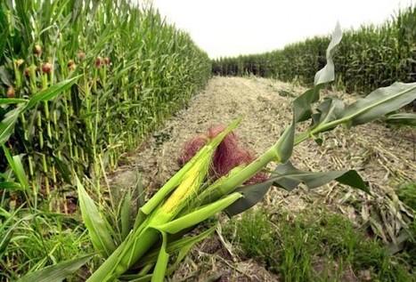 OGM, finalmente una ricerca svela la loro reale pericolosità | senza glutine | Scoop.it