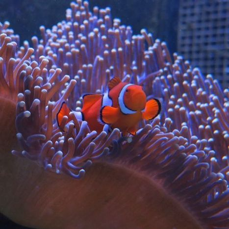 Why it might be harmful to take your own Nemo or Dory home | Biodiversity protection | Scoop.it