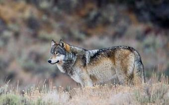 Greater Yellowstone Coalition - Wolves: New Challenges for Keystone Species | The Wild Planet | Scoop.it