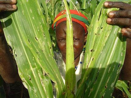Afrique du Sud : Des chenilles résistent au maïs OGM   Confidences Canopéennes   Scoop.it