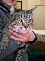 Queens Our City Radio Featured Cat For Adoption – Patricia (Declawed) (Brooklyn) | Queens Our City Radio Featured Cat For Adoption | Scoop.it