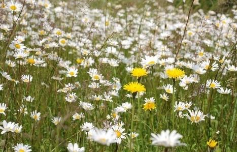 Écologie: Les Nordistes appelés à compter les marguerites | Biodiversité | Scoop.it