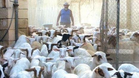 Police watch over sheep costs €80000, and counting - Times of Malta | Animal Science | Scoop.it
