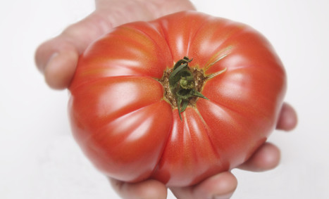 Science explains why refrigerators sap the flavor from ripe tomatoes | The future of medicine and health | Scoop.it