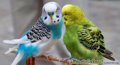 Budgies - true friends at home | home | Scoop.it