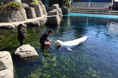 "Should the #Vancouver #Aquarium phase out #Cetaceans in #captivity? ""YES"" 