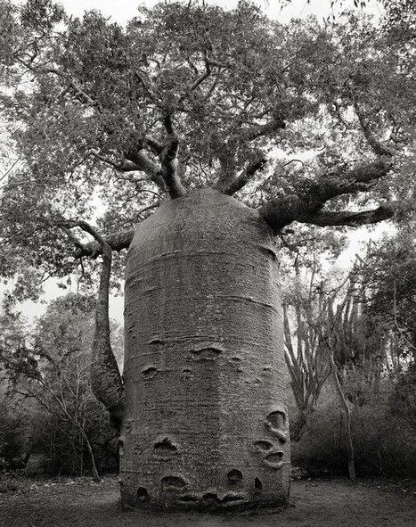 Pendant 14 ans, elle photographie les arbres les plus vieux du monde. Des portraits du temps. | The Blog's Revue by OlivierSC | Scoop.it