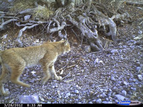 Nouvelle photo d'un lynx des Balkans en Albanie | FERUS | Albanie | Scoop.it