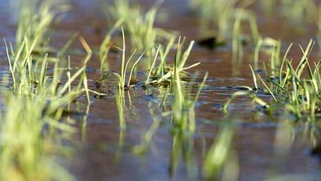 BBSRC funded: Scientists create barley variety more resistant to flooding | BIOSCIENCE NEWS | Scoop.it