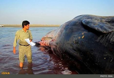 Photos: Whale Dies After Getting Caught in Fishing Nets in Persian Gulf | All about water, the oceans, environmental issues | Scoop.it