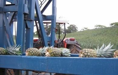 Costa Rica: La exportación de piña superó al ba...   Banano   Scoop.it