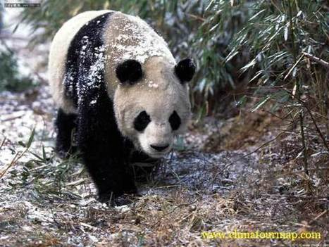 Panda Conservation, Giant Panda Conservation,Panda Conservation Plan, Panda Conservation Program | conservation on giant panda | Scoop.it