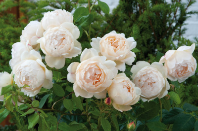 If You Love David AustinRoses….. | Annie Haven | Haven Brand | Scoop.it
