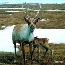Save Caribou from Habitat Destruction | Life on Earth | Scoop.it