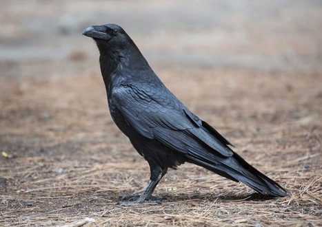 Petition launched as farmers call for increased control of ravens - Conservation Articles & Blogs - CJ | Wildlife and Conservation | Scoop.it