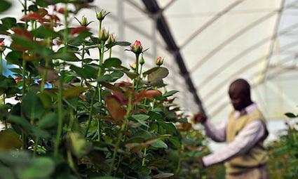 Les fleurs que vous achetez à la Saint-Valentin assèchent un lac au Kenya | Slate Afrique | Des liens en Hist-Géo | Scoop.it