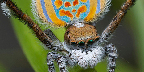 Return of the Dancing Peacock Spiders | Science Blogs | Video | 21st Century Innovative Technologies and Developments as also discoveries, curiosity ( insolite)... | Scoop.it