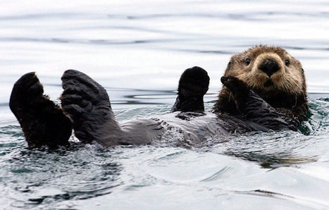 "No One Knows Why Alaska's Sea Otters Are Dying (""here's why man should not tamper with biodiversity"") 