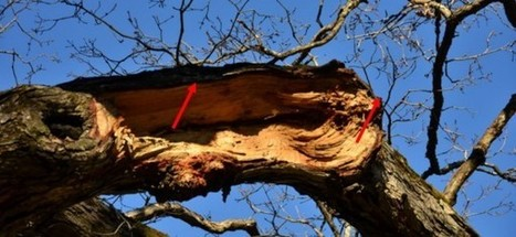 Historic White Oak Tree in Bedford Facing Health Problems | Hudson Valley | Scoop.it