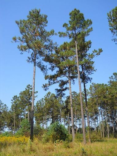 Pine Tree Genome is Largest Genome Ever Sequenced | Erba Volant - Applied Plant Science | Scoop.it